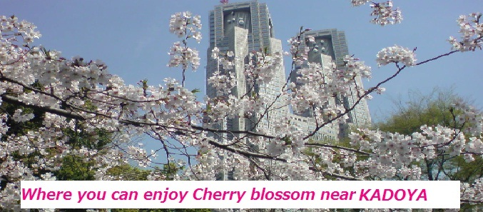Cherry blossom starts blooming