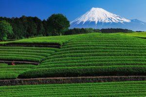新宿個室居酒屋はたごで静岡の新茶を味わう